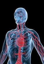 La angina es una enfermedad grave del sistema circulatorio