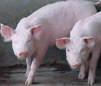 La gripe porcina en México podría extenderse a España