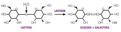 transformacion de la lactasa para gente con intolerancia lactosa